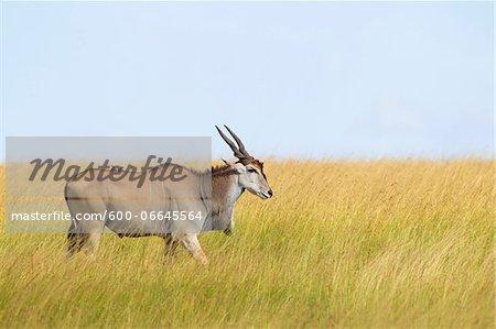 Common Eland (Taurotragus oryx) in Savannah, Maasai Mara National Reserve, Kenya