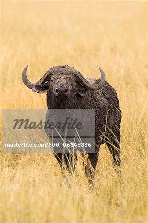 African buffalo (Syncerus caffer) in savanna, Maasai Mara National Reserve, Kenya, Africa.