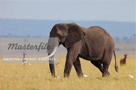 African Bush Elephant (Loxodonta africana) Bull in Savanna, Maasai Mara National Reserve, Kenya, Africa
