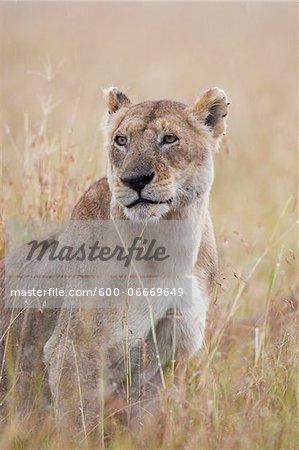 Lioness (Panthera leo) in the Rain, Maasai Mara National Reserve, Kenya, Africa