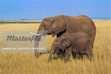 African Bush Elephant (Loxodonta africana) Mother with Calf, Maasai Mara National Reserve, Kenya, Africa
