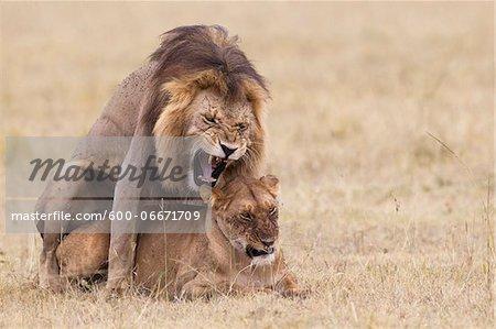 African lions (Panthera leo) mating, Maasai Mara National Reserve, Kenya