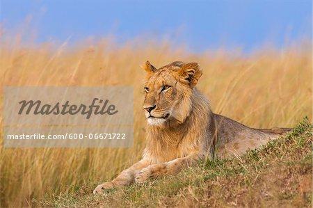 Young male lion (Panthera leo), Maasai Mara National Reserve, Kenya