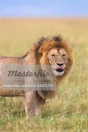 Portrait of a big male lion (Panthera leo), Maasai Mara National Reserve, Kenya