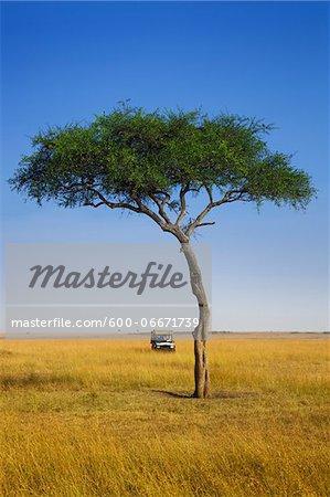 View of acacia tree and safari jeep, Maasai Mara National Reserve, Kenya