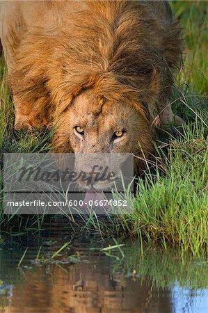Male Lion (Panthera leo) Drinking, Maasai Mara National Reserve, Kenya, Africa