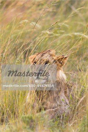 Male Lion (Panthera leo) in Tall Grass, Maasai Mara National Reserve, Kenya, Africa