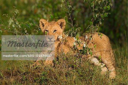 Lion (Panthera leo) Cub, Maasai Mara National Reserve, Kenya, Africa