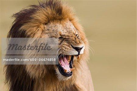 Portrait of Male Lion (Panthera leo), Maasai Mara National Reserve, Kenya, Africa