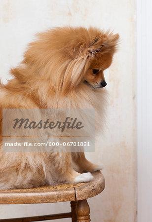 Portrait Of Male Pomeranian Dog Sitting On Chair Studio Shot
