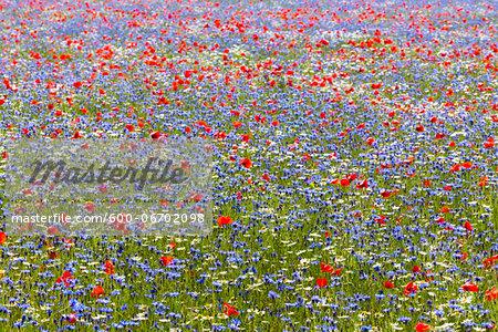 Corn Poppies (Papaver rhoeas), Oxeye Daisies (Leucanthemum vulgare) and Blue Cornflowers (Centaurea cyanus) on cultivated land, Piano Grande, Monti Sibillini National Park, Umbria, Italy