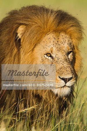 Portrait of Male Lion (Panthera leo) Walking in Tall Grass, Maasai Mara National Reserve, Kenya, Africa