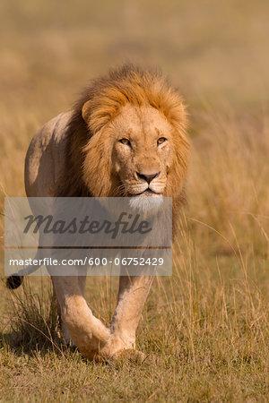 Portrait of Male Lion (Panthera leo) Walking in Grass, Maasai Mara National Reserve, Kenya, Africa