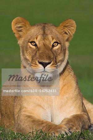 Portrait of Lioness (Panthera leo), Maasai Mara National Reserve, Kenya, Africa