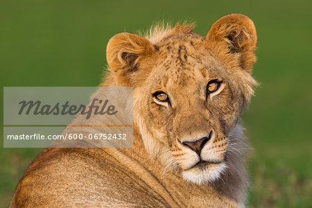 Portrait of Young Male Lion (Panthera leo), Maasai Mara National Reserve, Kenya, Africa