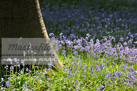 Beech Tree Trunk with Bluebells in Spring, Hallerbos, Halle, Flemish Brabant, Vlaams Gewest, Belgium