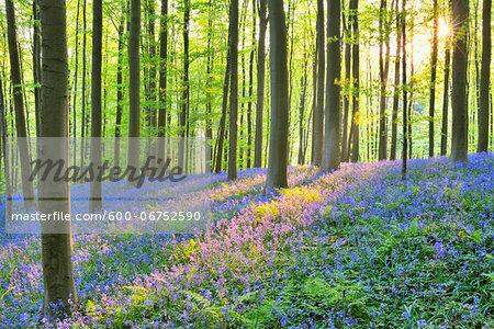Sun through Beech Forest with Bluebells in Spring, Hallerbos, Halle, Flemish Brabant, Vlaams Gewest, Belgium