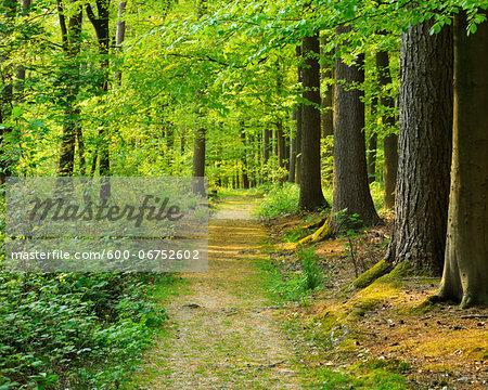 Path through Forest in Spring, Hallerbos, Halle, Flemish Brabant, Vlaams Gewest, Belgium