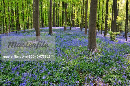 Beech Forest with Bluebells in Spring, Hallerbos, Halle, Flemish Brabant, Vlaams Gewest, Belgium