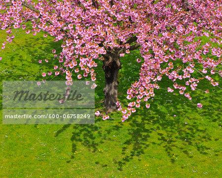 Blossoming Cherry Tree in Spring, Obernburg, Spessart, Bavaria, Germany