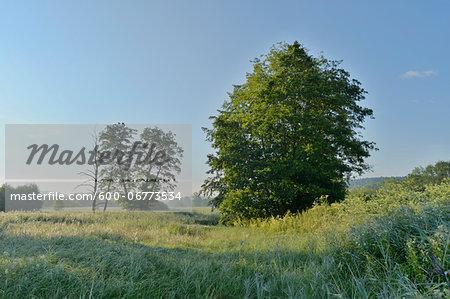 European Alder (Alnus glutinosa) in Meadow in Summer, Upper Palatinate, Bavaria, Germany