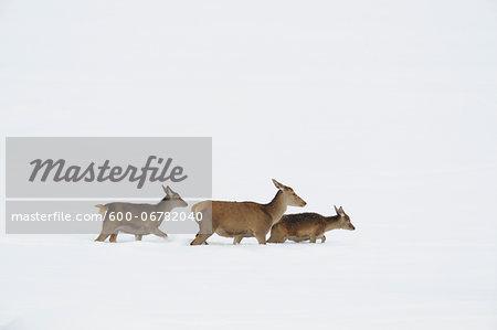 Red Deer (Cervus elaphus) Mother with Young in Winter, Bavaria, Germany