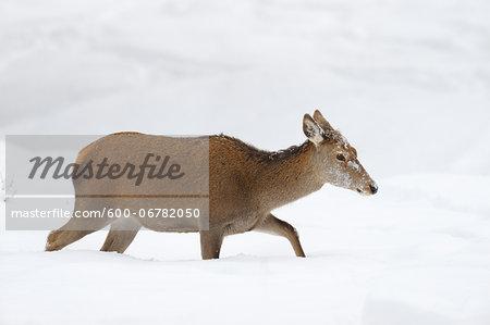 Female Red Deer (Cervus elaphus) in Winter, Bavaria, Germany