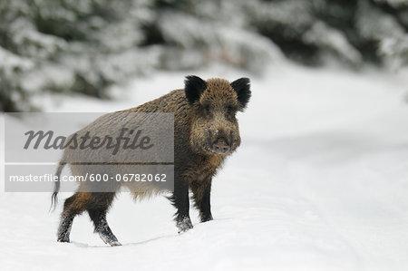 Wild Boar (Sus scrofa) in Winter, Bavaria, Germany