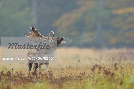 Roaring Male Fallow Deer (Cervus dama) in Rutting Season, Hesse, Germany