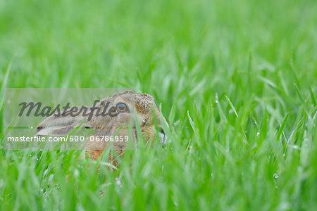 European Brown Hare (Lepus europaeus) in Grain Field in Springtime, Hesse, Germany