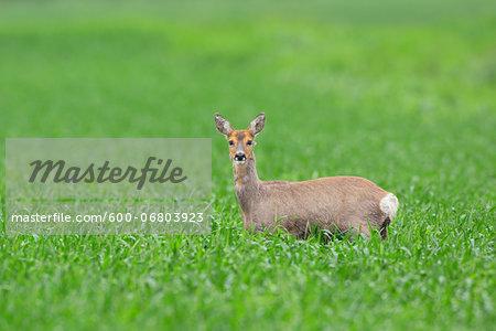 Female European Roe Deer (Capreolus capreolus) in Field in Springtime, Hesse, Germany