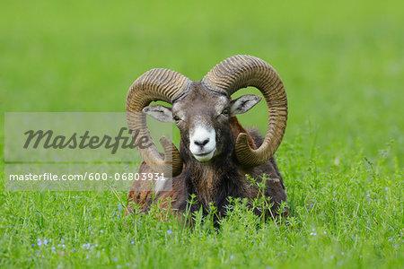 European Mouflon (Ovis orientalis musimon) Ram Lying in Meadow, Hesse, Germany, Europe