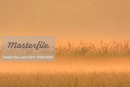 Reed Belt in Morning Mist at Sunrise, Hesse, Germany, Europe