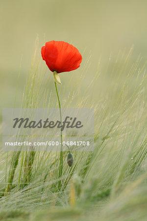 Red Poppy (Papaver rhoeas) in Barley Field, Hesse, Germany, Europe