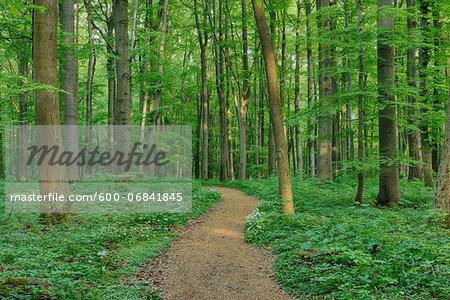Footpath through European Beech (Fagus sylvatica) Forest in Spring, Hainich National Park, Thuringia, Germany