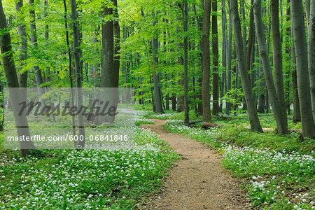 Footpath through Ramsons (Allium ursinum) in European Beech (Fagus sylvatica) Forest in Spring, Hainich National Park, Thuringia, Germany