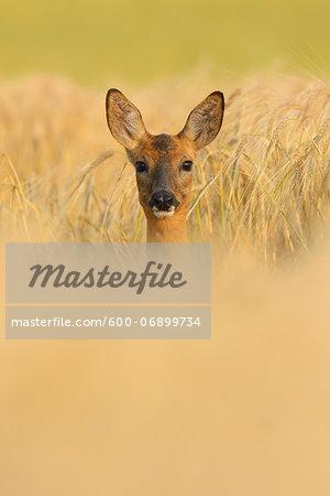 European Roe Deer (Capreolus capreolus) Doe in Barley Field in Morning, Hesse, Germany