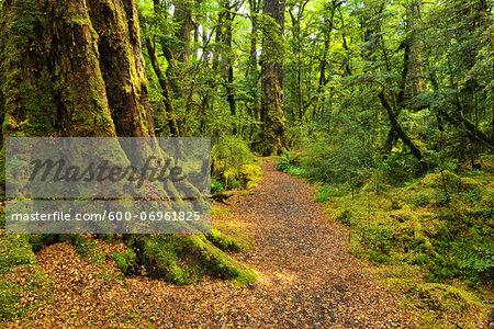 Path through Rainforest, Lake Gunn Nature Walk, Fiordland National Park, Southland, South Island, New Zealand