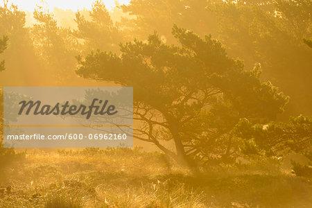 Pine Trees in Mist at Sunrise, Darsser Ort, Fischland-Darss-Zingst, Mecklenburg-Western Pomerania, Germany