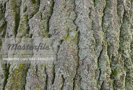 Close-up of Poplar Tree Bark, Hesse, Germany