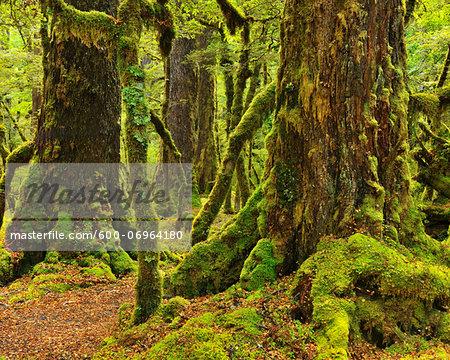 Rainforest, Lake Gunn Nature Walk, Fiordland National Park, Te Wahipounamu, Southland, South Island, New Zealand