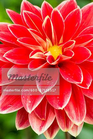 Close-up of Garden Festival Waterlily Dahlia, Cologne, North Rhine-Westphalia, Germany