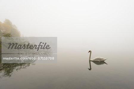 Mute Swan (Cygnus olor) on Lake in Early Morning Fog, Hesse, Germany, Europe