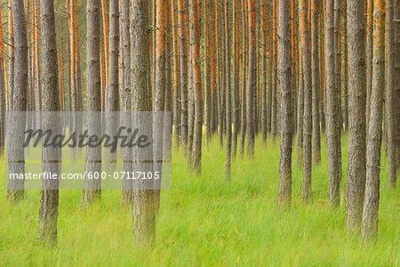 Pine Forest, Biosphere Reserve, Lusatia, Saxony, Germany