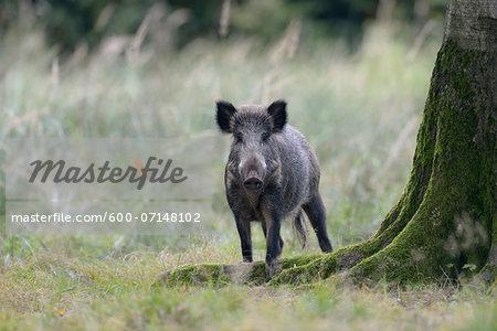 Wild boar, Sus scrofa, Bavaria, Germany, Europe