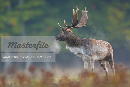 Male Fallow Deer (Cervus dama) in Autumn, Hesse, Germany