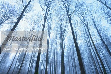 European Beech Forest (Fagus sylvatica) in Early Morning Mist, Spessart, Bavaria, Germany
