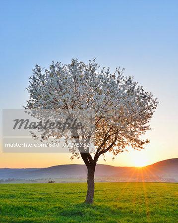 Blossoming Cherry Tree in Spring at Sunrise, Miltenberg, Spessart, Franconia, Bavaria, Germany