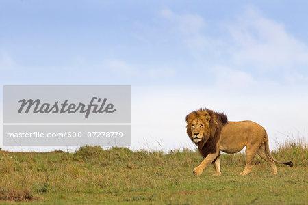 Male Lion (Panthera leo) in Savanna, Masai Mara National Reserve, Kenya