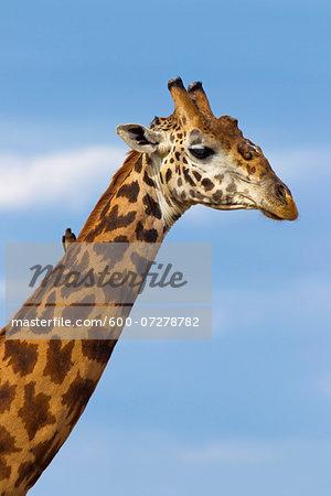 Portrait of Masai Giraffe (Giraffa camelopardalis tippelskirchi), Masai Mara National Reserve, Kenya